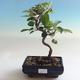 Bonsai im Freien - Malus halliana - Apfelbaum mit kleinen Früchten - 1/5