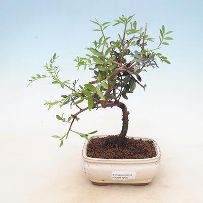 Zimmer Bonsai-Pistazien - 1