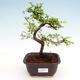 Zimmerbonsai - Ulmus parvifolia - Kleinblättrige Ulme - 1/3