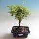 Bonsai-Cinquefoil im Freien - Dasiphora fruticosa gelb - 1/3