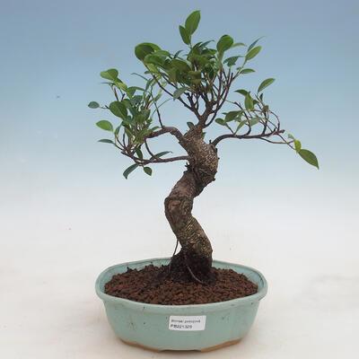 Indoor-Bonsai - Ficus retusa - kleinblättriger Ficus