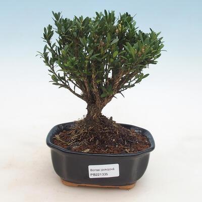 Zimmer Bonsai - Buxus harlandii - Kork Buchsbaum - 1