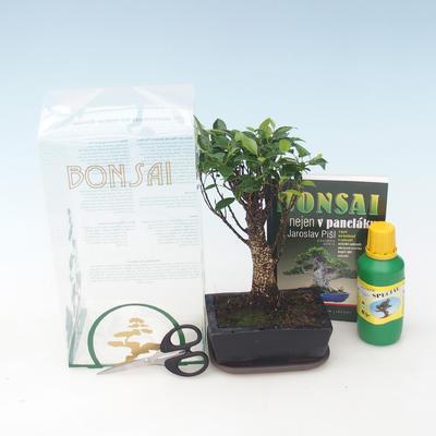 Zimmer-Bonsai in einem Geschenkkarton