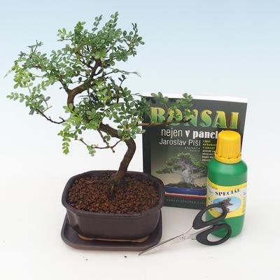 Ficus retusa - Ficus malolistý
