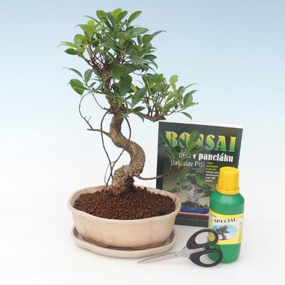 Ficus retusa - Fikus malolistý