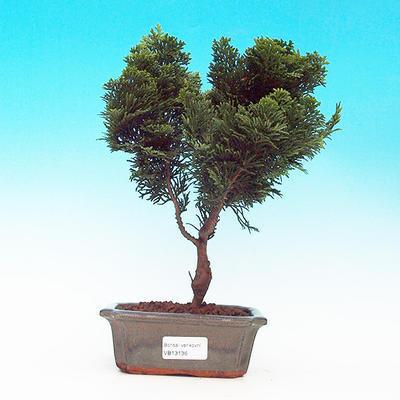 Cypress obtusa VB13136 - 1