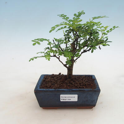 Indoor Bonsai - Zantoxylum piperitum - Pfefferkorn - 1