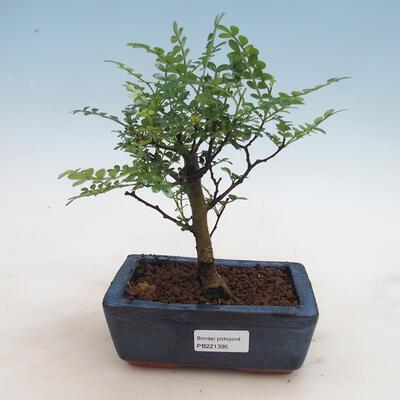 Indoor Bonsai - Zantoxylum piperitum - Pfefferkorn - 1