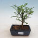 Indoor Bonsai - Zantoxylum piperitum - Pfefferkorn - 1/4