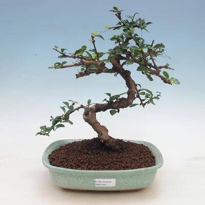 Innenbonsai - Carmona macrophylla - Tee fuki - 1