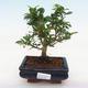 Indoor-Bonsai - Carmona macrophylla - Fuki-Tee - 1/5