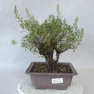Bonsai im Freien - Berg Satureja - Satureja montana - 1