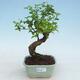 Indoor Bonsai -Ligustrum chinensis - Vogelschnabel - 1/3