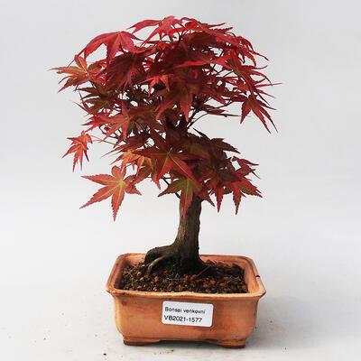 Bonsai im Freien - Maple palmatum DESHOJO - Japanischer Ahorn - 1