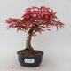 Bonsai im Freien - Maple palmatum DESHOJO - Japanischer Ahorn - 1/5