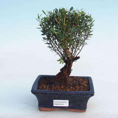 Indoor Bonsai - Syzygium - Piment - 1