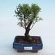 Indoor Bonsai - Syzygium - Piment - 1/3