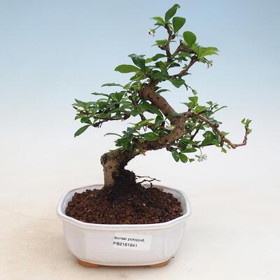 Indoor-Bonsai - Carmona macrophylla - Fuki-Tee - 1