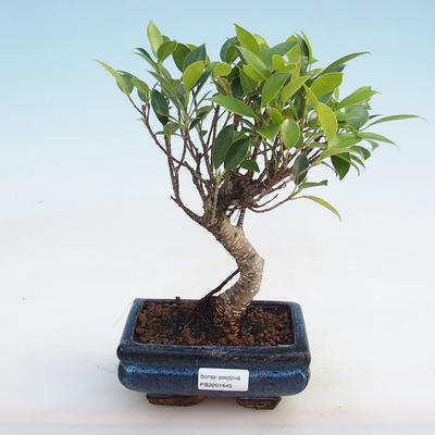 Indoor-Bonsai - Ficus retusa - kleinblättriger Ficus - 1
