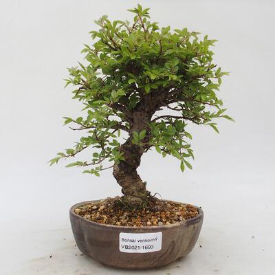 Bonsai im Freien - Zelkova - Zelkova NIRE - 1