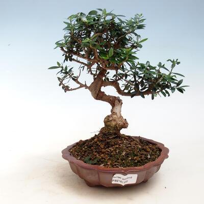 Indoor-Bonsai - Olea europaea sylvestris - Europäisches kleinblättriges Olivenöl - 1