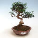 Indoor-Bonsai - Olea europaea sylvestris - Europäisches kleinblättriges Olivenöl - 1/5
