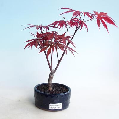 Bonsai im Freien - Maple Palmatum DESHOJO - Maple Palmate - 1