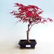 Outdoor Bonsai - Acer Palme. Atropurpureum-rotes Palmblatt - 1/3