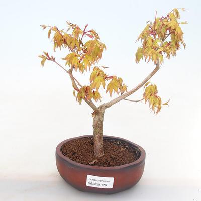 Bonsai-Acer palmatum Sango Koku- Japanischer Ahorn im Freien - 1