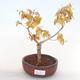 Bonsai-Acer palmatum Sango Koku- Japanischer Ahorn im Freien - 1/2