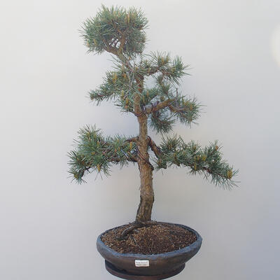 Outdoor-Bonsai - Pinus sylvestris Watereri - Waldkiefer - 1