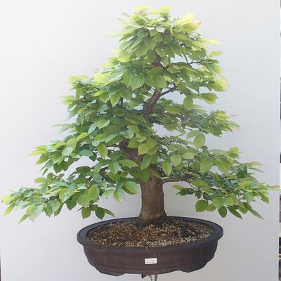 Outdoor-Bonsai - Hainbuche - Carpinus betulus - 1