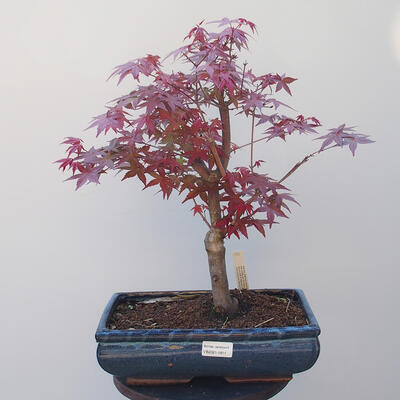 Outdoor-Bonsai - Ahorn palmatum DESHOJO - Ahornpalme - 1
