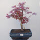 Outdoor-Bonsai - Ahorn palmatum DESHOJO - Ahornpalme - 1/4