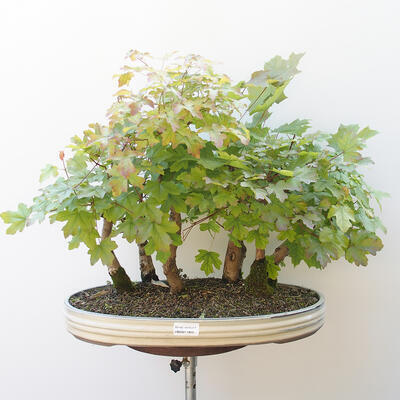 Acer campestre, acer platanoudes - Babyahorn, Ahorn - 1