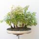 Acer campestre, acer platanoudes - Babyahorn, Ahorn - 1/4