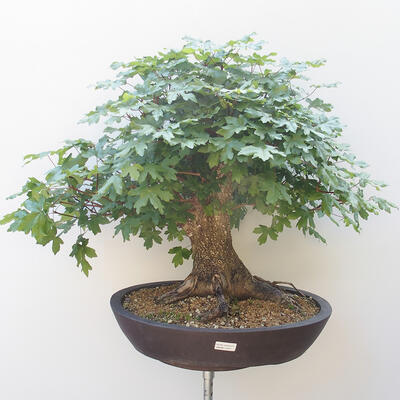 Acer campestre - Baby-Ahorn - 1