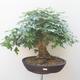 Acer campestre - Baby-Ahorn - 1/5