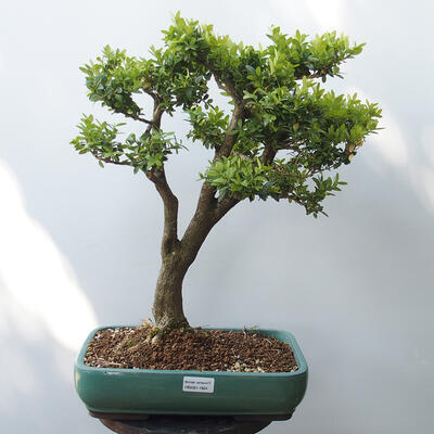 Outdoor-Bonsai - Buchsbaum - 1