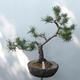 Outdoor-Bonsai - Pinus sylvestris Watereri - Waldkiefer - 1/5