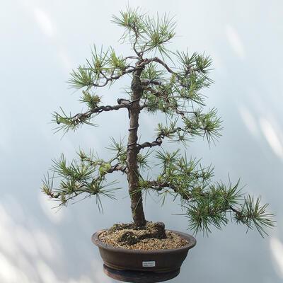 Outdoor-Bonsai - Pinus sylvestris - Waldkiefer - 1