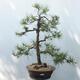 Outdoor-Bonsai - Pinus sylvestris - Waldkiefer - 1/4