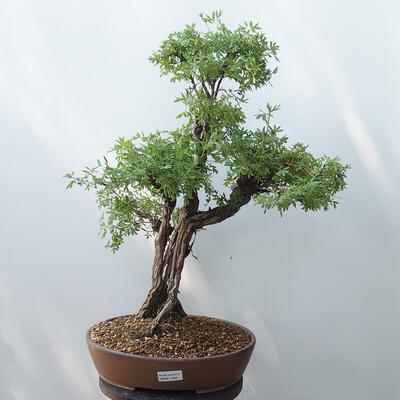 Outdoor-Bonsai - Fingerkraut - Potentila fruticosa gelb - 1