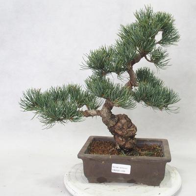 Bonsai im Freien - Pinus parviflora - kleinblumige Kiefer - 1