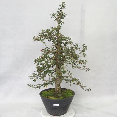 Outdoor Bonsai - Weißdorn rosa Blüten - Crataegus laevigata Pauls Scarlet - 1