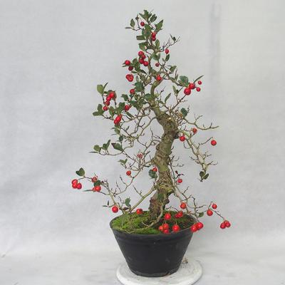 Bonsai im Freien - Weißblumen des Weißdorns - Crataegus laevigata - 1