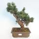 Bonsai im Freien - Pinus parviflora - kleinblumige Kiefer - 1/5
