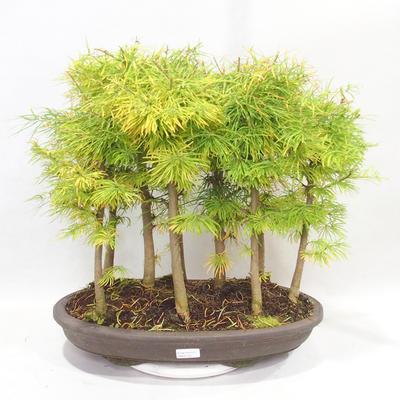 Bonsai im Freien - Pseudolarix amabilis - Pamodřín - Hain mit 9 Bäumen - 1