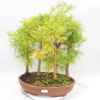 Bonsai im Freien - Pseudolarix amabilis - Pamodřín - Hain mit 5 Bäumen - 1