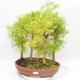 Bonsai im Freien - Pseudolarix amabilis - Pamodřín - Hain mit 5 Bäumen - 1/5